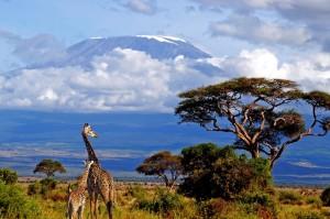 жирафы на фоне горы Килиманджаро